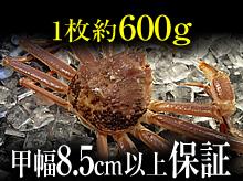 活(生)松葉ガニ(約600g・甲幅8.5cm以上保証)
